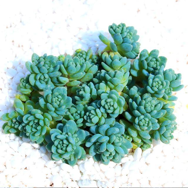 旋叶姬星多肉植物